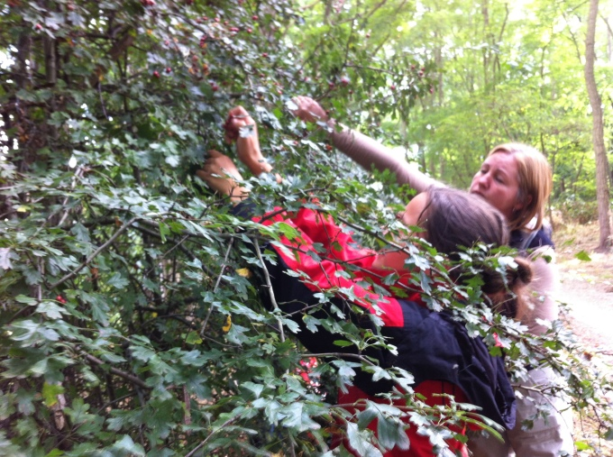 picking Hawthorns