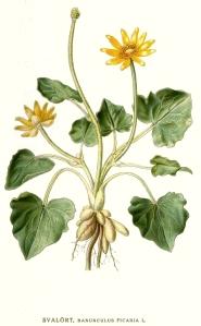 Ranunculus_ficaria